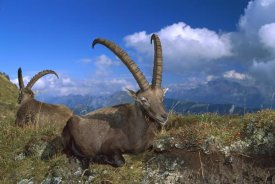 Konrad Wothe - Alpine Ibex males in the Swiss Alps, Europe