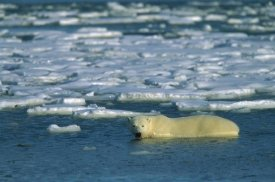 Konrad Wothe - Polar Bear wading in water along ice floe, Churchill, Canada