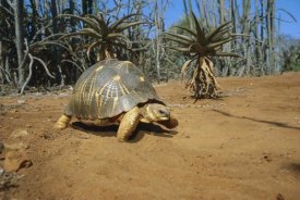 Konrad Wothe - Radiated Tortois  in the spiny desert, Madagascar