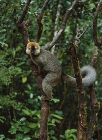 Konrad Wothe - Red-fronted Brown Lemur male, Ranomafana NP, Madagascar