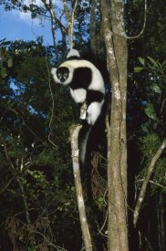 Konrad Wothe - Black and White Ruffed Lemur climbing tree, Madagascar