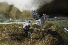 Konrad Wothe - American Dipper parent feeding young, Costa Rica