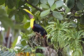 Konrad Wothe - Chestnut-mandibled Toucan in trees, Costa Rica