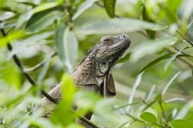 Konrad Wothe - Green Iguana in lowland rainforest, Costa Rica