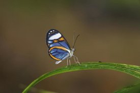 Konrad Wothe - Glasswing on leaf,  Costa Rica