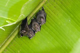 Konrad Wothe - Peters' Tent-making Bats roosting,  Costa Rica