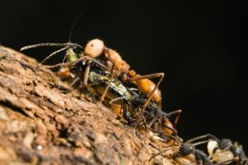 Konrad Wothe - Army Ant carrying cricket, La Selva, Costa Rica