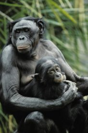 Konrad Wothe - Bonobo mother and baby,  native to Africa
