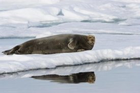 Konrad Wothe - Bearded Seal on ice floe, Spitsbergen, Norway