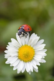 Konrad Wothe - Seven-spotted Ladybird on Common Daisy , Germany