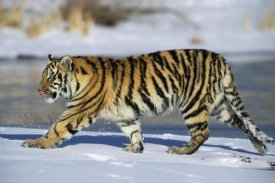Konrad Wothe - Siberian Tiger cub walking in snow, native to Siberia
