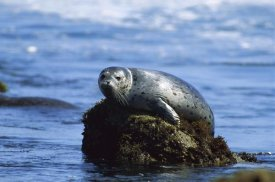 Gerry Ellis - Harbor Seal hauled out on a rock Pacific Coast, North America