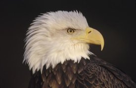 Gerry Ellis - Bald Eagle portrait, North America