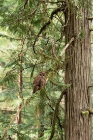 Gerry Ellis - Northern Spotted Owl, Pacific Northwest coast, North America