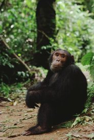 Gerry Ellis - Chimpanzee on forest floor, Gombe Stream National Park, Tanzania