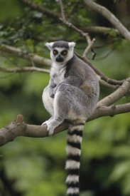 Gerry Ellis - Ring-tailed Lemur sitting on tree branch, Madagascar