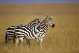Gerry Ellis - Burchell's Zebra pair on savannah, Masai Mara National Reserve, Kenya