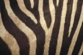Gerry Ellis - Hartmann's Mountain Zebra close up of stripes on belly