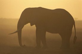 Gerry Ellis - African Elephant silhouetted at sunset, Amboseli National Park, Kenya