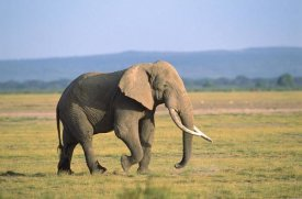 Gerry Ellis - African Elephant bull walking across grassland, Amboseli National Park, Kenya