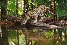 Gerry Ellis - Jaguar drinking, Belize Zoo, Belize
