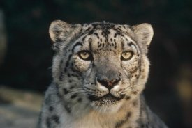 Gerry Ellis - Snow Leopard, Woodland Park Zoo