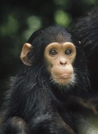 Gerry Ellis - Chimpanzee baby portrait, Gombe Stream National Park, Tanzania