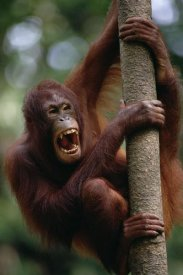 Gerry Ellis - Orangutan hanging on tree, Sepilok Forest Reserve, Sabah, Borneo