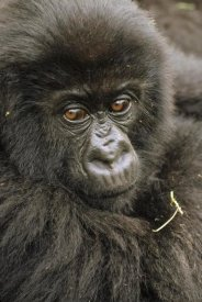 Gerry Ellis - Mountain Gorilla juvenile portrait, Virunga Mountains