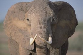 Gerry Ellis - African Elephant close-up, Amboseli National Park, Kenya