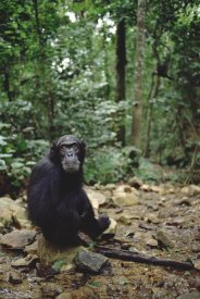 Gerry Ellis - Chimpanzee profile, Gombe Stream National Park, Tanzania