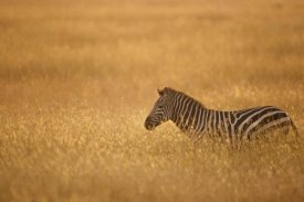 Gerry Ellis - Burchell's Zebra in savannah grass, Masai Mara National Reserve, Kenya