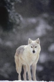 Gerry Ellis - Timber Wolf female in falling snow, North America