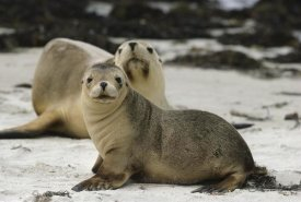 Gerry Ellis - Australian Sea Lion mother and pup, Kangaroo Island, Australia