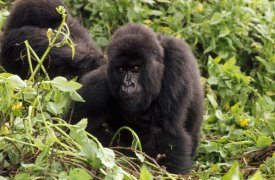 Gerry Ellis - Mountain Gorilla female, Virunga Mountains