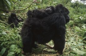 Gerry Ellis - Mountain Gorilla baby balancing on mother's back, Virunga Mountains