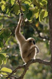 Gerry Ellis - White-handed Gibbon in tree, northern Thailand