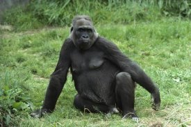 Gerry Ellis - Western Lowland Gorilla female, Woodland Park Zoo