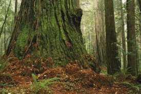 Gerry Ellis - Coast Redwood old-growth tree in forest, Pacific Coast, North America