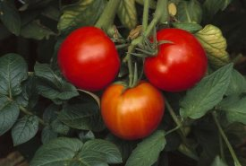 Gerry Ellis - Tomato fruit ripening on vine
