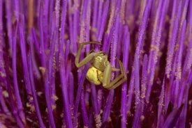 Gerry Ellis - Goldenrod Crab Spider female on flower, North America