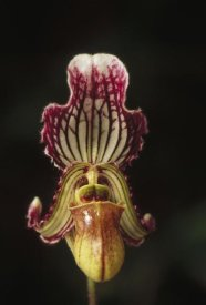 Gerry Ellis - Fairy Paphiopedilum flower, northeast India