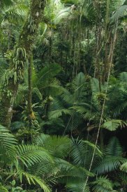 Gerry Ellis - Sierra Palm trees in tropical rainforest, El Yunque National Forest, Puerto Rico
