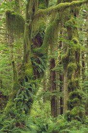 Gerry Ellis - Temperate rainforest, Queets River Valley, Olympic National Park, Washington