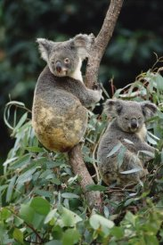 Gerry Ellis - Koala males, eastern forested Australia