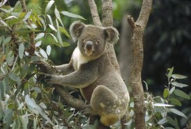 Gerry Ellis - Koala male in Eucalyptus tree, eastern forested Australia