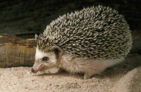 Gerry Ellis - African Hedgehog portrait, northwest Africa