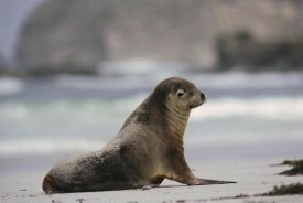 Gerry Ellis - Australian Sea Lion on beach, Kangaroo Island, Australia