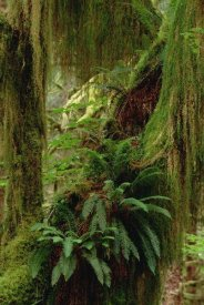 Gerry Ellis - Epiphytic Sword Fern, temperate rainforest, North America