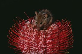 Gerry Ellis - Honey Possum feeding on flowering Scarlet Banksia , Western Australia
